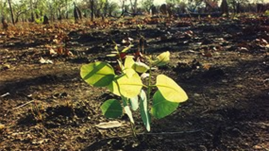 germination-after-bushfire