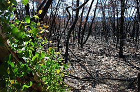 growth-after-bushfire